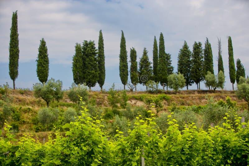 Jordbruk för druvor och vin fotografering för bildbyråer