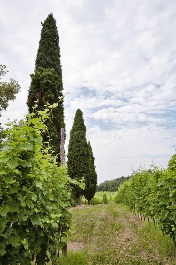 Jordbruk för druvor och vin royaltyfria bilder
