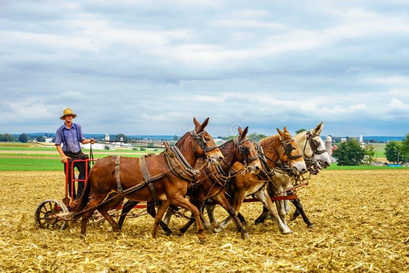 Jordbruk för fält för ladugård för lantgård för Lancaster Pennsylvania - Oktober 4, 2016 Amish landshäst i Lancaster PA arkivbild