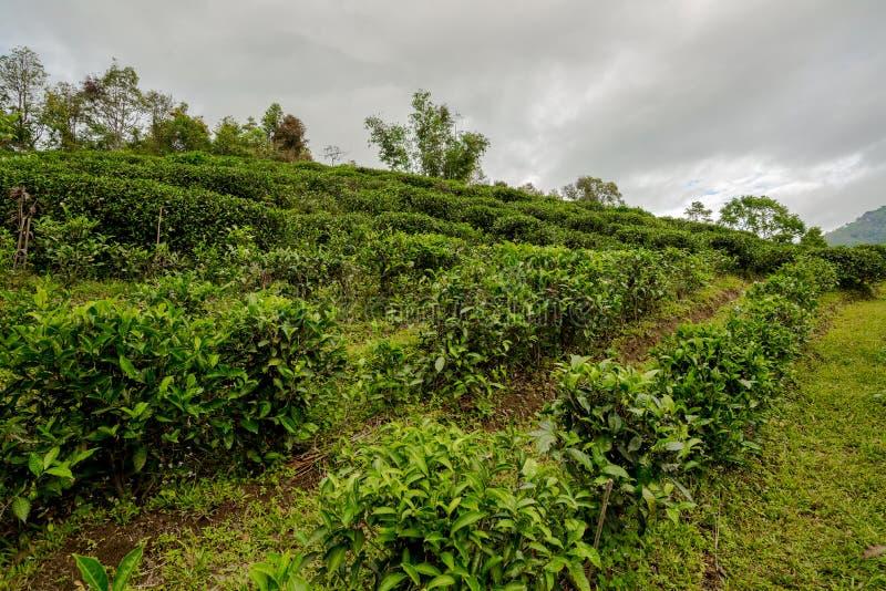 Jordbruk för teväxt i fältlandet som ska användas för dryck royaltyfri fotografi