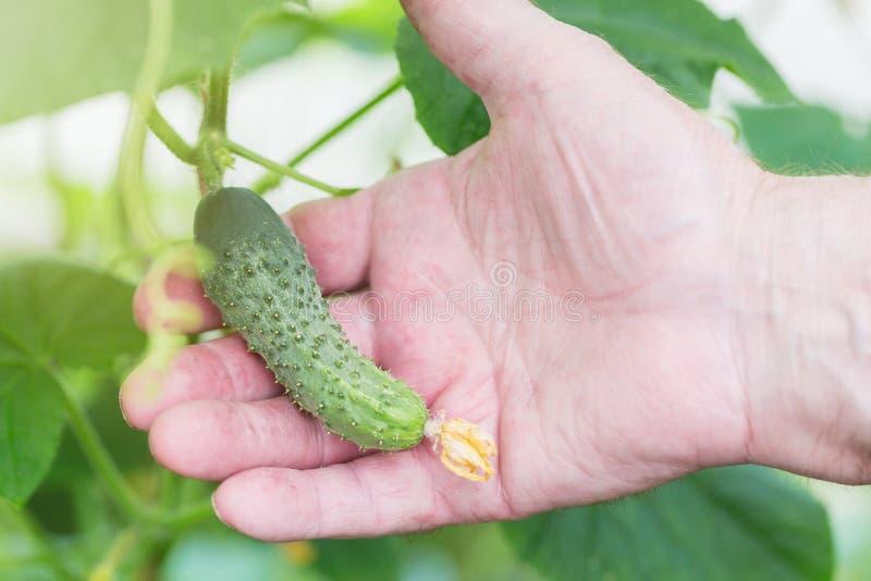 Jordbruk lantbruk- och arbeta i trädgårdenbegrepp Detalj av den hållande gurkan för rynkig manhand på lantgårdväxthuset Selektivt arkivbilder