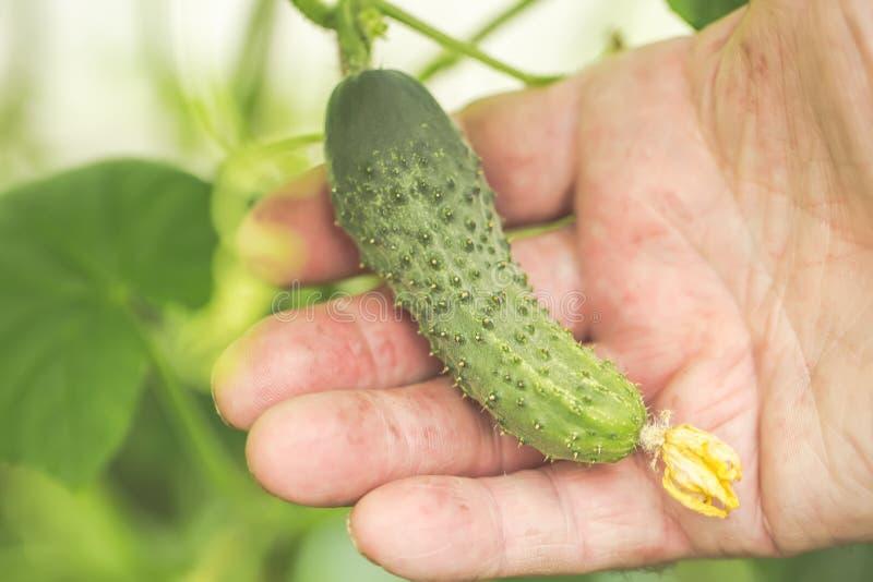 Jordbruk lantbruk- och arbeta i trädgårdenbegrepp Detalj av den hållande gurkan för rynkig manhand på lantgårdväxthuset Selektivt royaltyfria foton