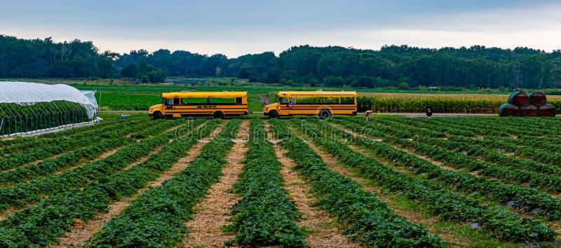 Jordbruk med blandad användning med rader av jordgubbsbuskar i förgrund- och majs- och sojabönsfälten bakom bussarna royaltyfria foton
