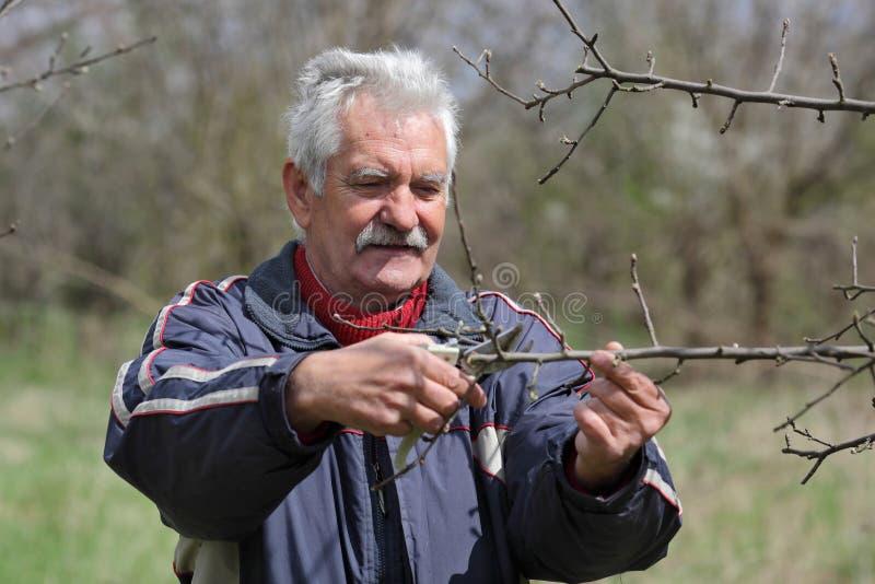 Jordbruk som beskär i fruktträdgård, arbete för hög man arkivbild