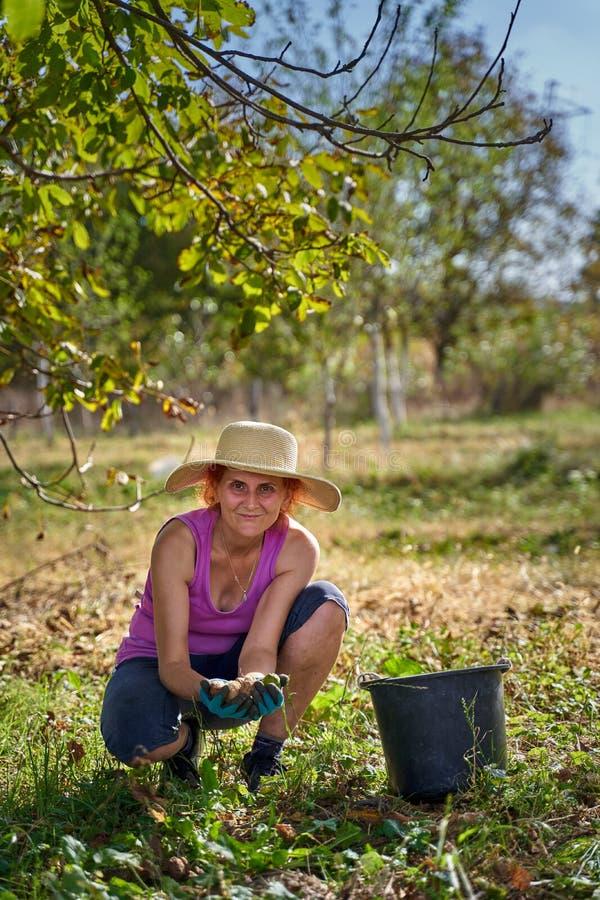 Jordbrukare som skördar valnötter i fruktodlingen arkivbild
