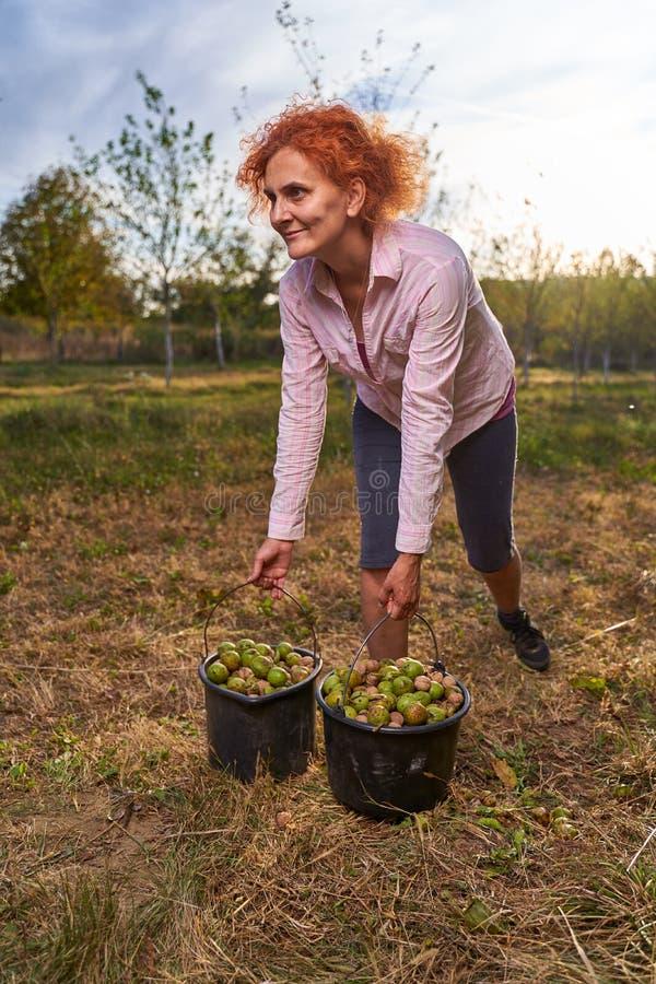 Jordbrukare som skördar valnötter i fruktodlingen arkivbilder