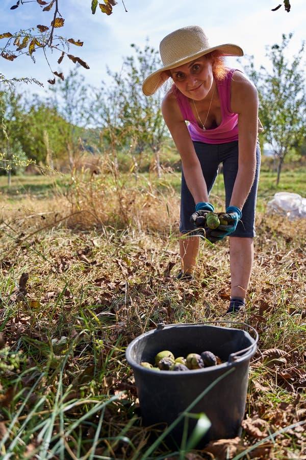 Jordbrukare som skördar valnötter i fruktodlingen royaltyfri bild