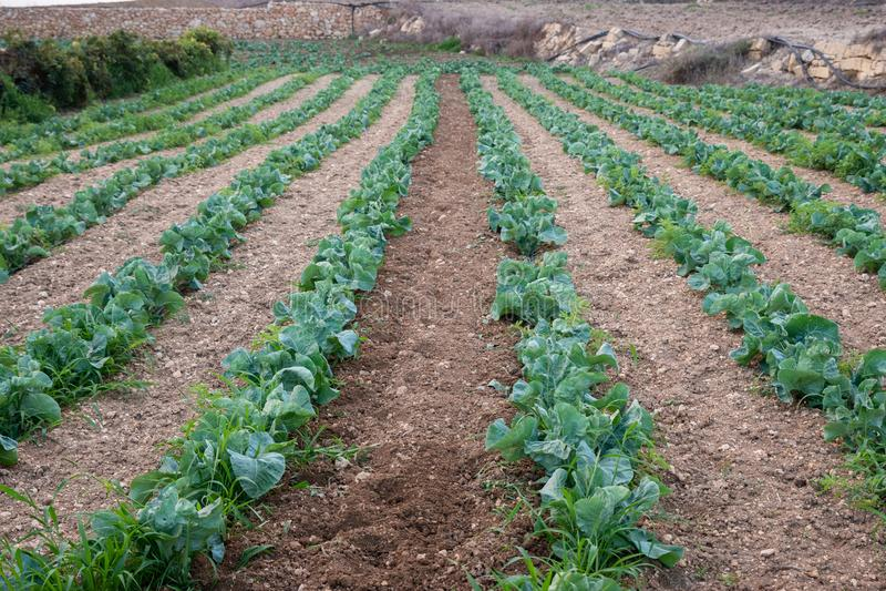 Jordbruks- blomkålväxter i rader i Gozo fotografering för bildbyråer