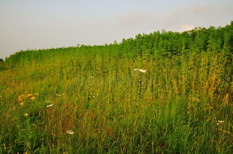 Jordbruks- fält av Sativa cannabis (hampa) royaltyfri fotografi