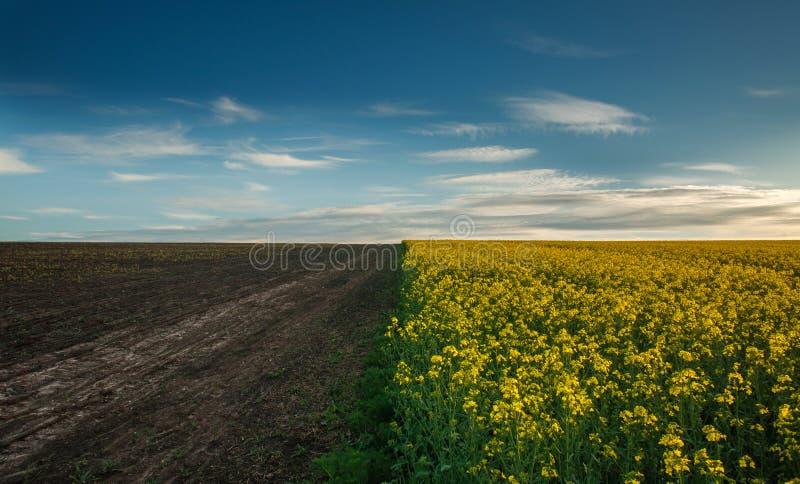 Jordbruks- fält som blommar canola med tom jord på moln för blå himmel arkivbild