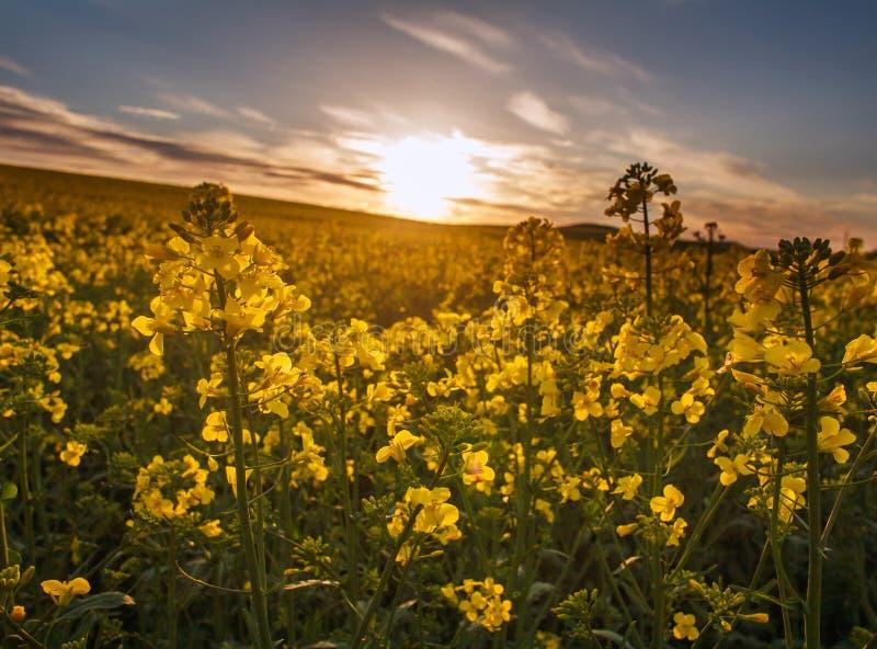 Jordbruks- f?lt av gula blommor som blommar canola p? solnedg?nghimmel arkivbilder