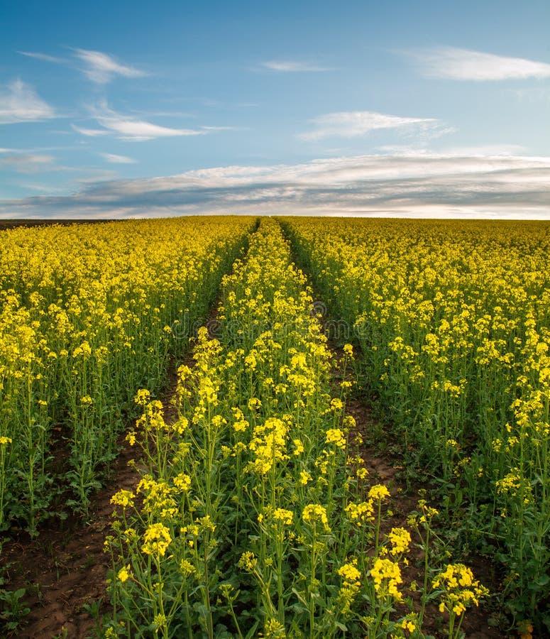 Jordbruks- f?lt av gula blommor som blommar canola p? solnedg?nghimmel arkivfoto
