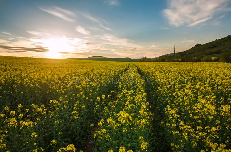 Jordbruks- f?lt av gula blommor som blommar canola p? solnedg?nghimmel arkivbild