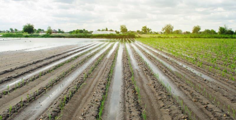 Jordbruks- land som är upprört, genom att översvämma Flooded s?tter in Följderna av regn ?kerbruk lantbruk Naturkatastrof och royaltyfri fotografi