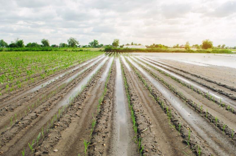 Jordbruks- land som är upprört, genom att översvämma Flooded s?tter in Följderna av regn ?kerbruk lantbruk Naturkatastrof och royaltyfria bilder