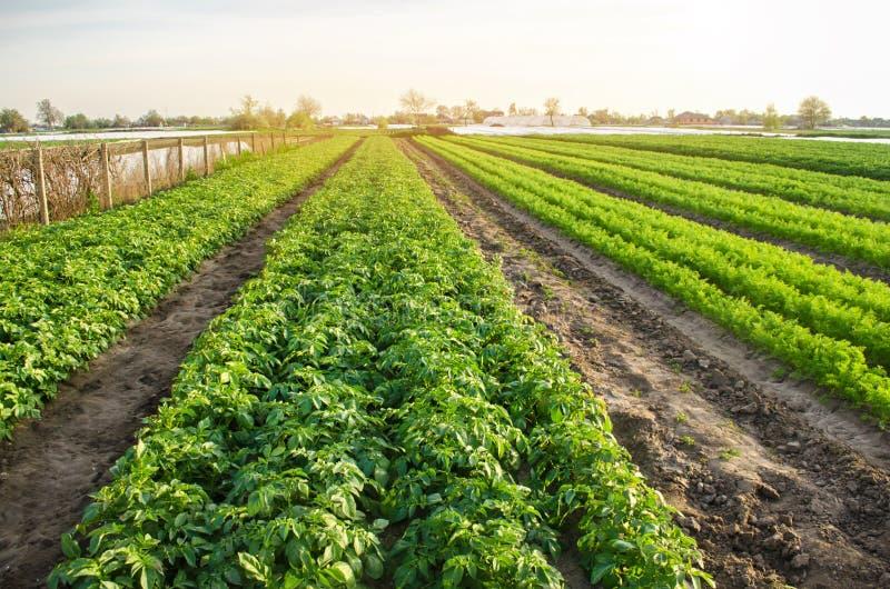 Jordbruks- landskap med grönsakkolonier V?xande organiska gr?nsaker i f?ltet Lantg?rdjordbruk Potatisar och morot royaltyfri fotografi