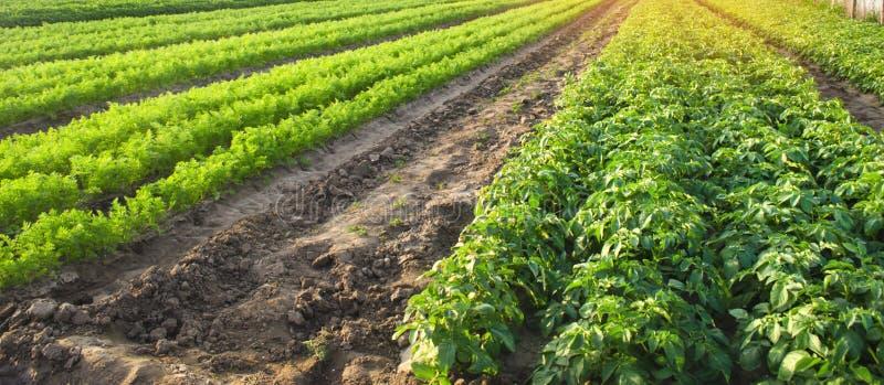 Jordbruks- landskap med gr?nsakkolonier V?xande organiska gr?nsaker i f?ltet Lantg?rdjordbruk Potatisar och morot royaltyfri bild