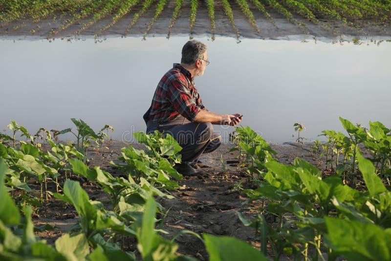 Jordbruks- plats, bonde i solrosfält efter flod royaltyfria bilder