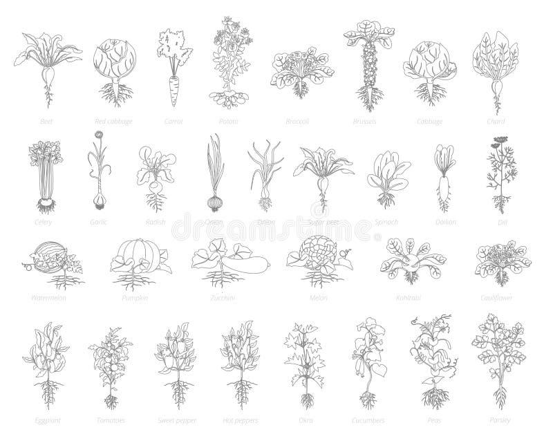 Jordbruks- uppsättning för lantgårdväxtsymbol Gråa linjer översiktskonturstil för vektor Vitlök och många för selleri f stock illustrationer