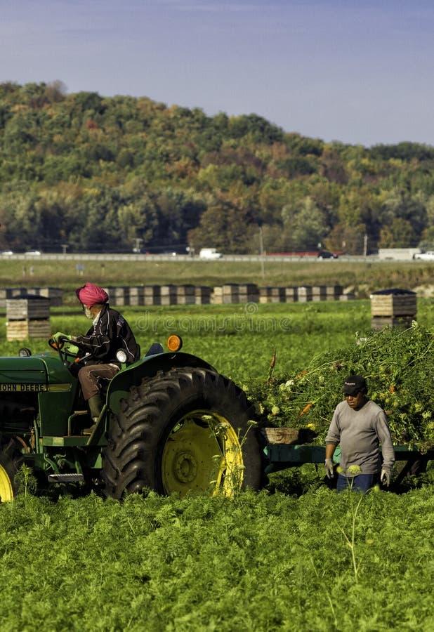 Jordbruksarbetare som skördar morötter - lodlinje royaltyfria foton