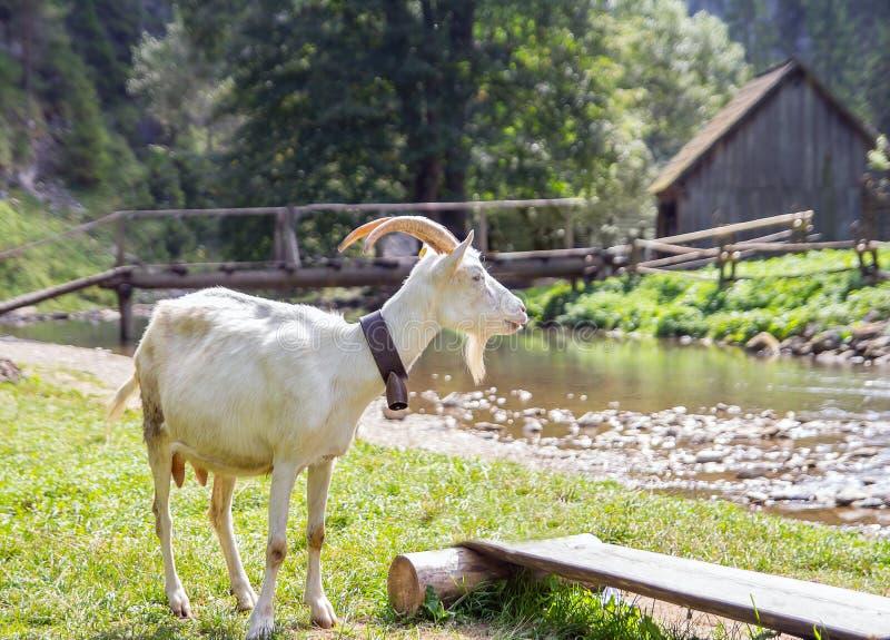 Jordbrukscen på landsbygden med get arkivfoto