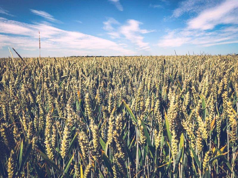 Jordbruksfält för mognadslagring av spannmål arkivfoto