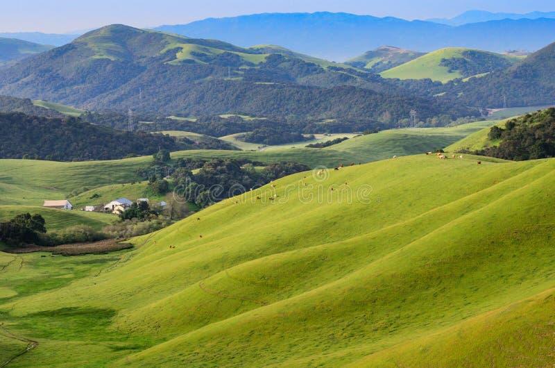 Jordbruksmark i Central Valley av Kalifornien med nötkreatur arkivfoto