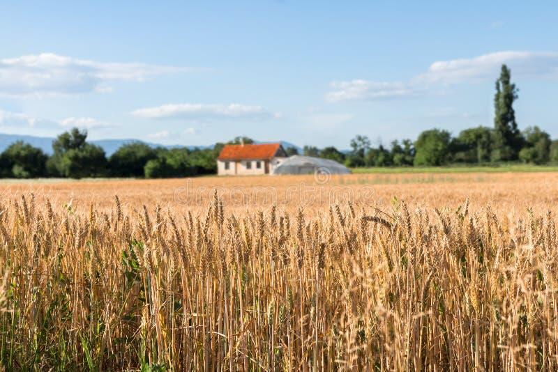 Jordbruksmark med guld- vetefält och lantgårdhus i avståndet royaltyfri foto