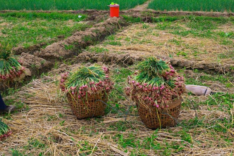 Jordbruksmark som fylls med lökar arkivbild