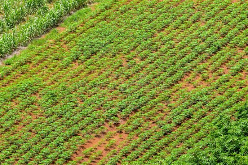 Jordbruksområden i landsbygder av Thailand, Longanträdgård, kassavalantgård, sockerrörodlinglantgård, landsbygder utanför staden, royaltyfri foto