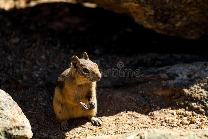 Jordekorre i Rocky Mountain National Park arkivfoton