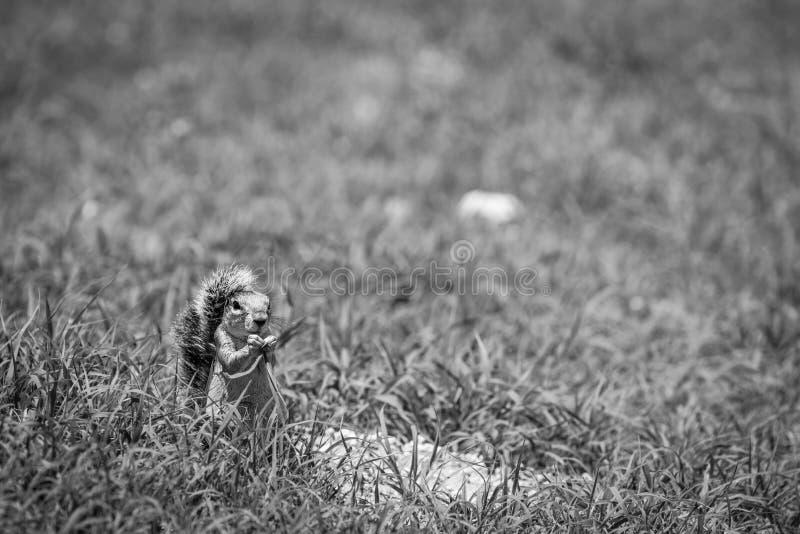 Jordekorre som äter gräs i svartvitt royaltyfri bild