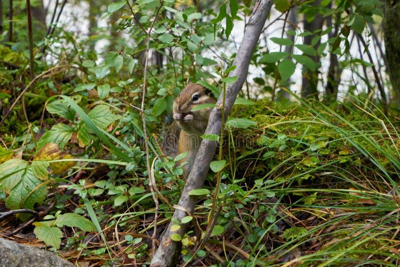 Jordekorre som äter i gräset arkivbilder