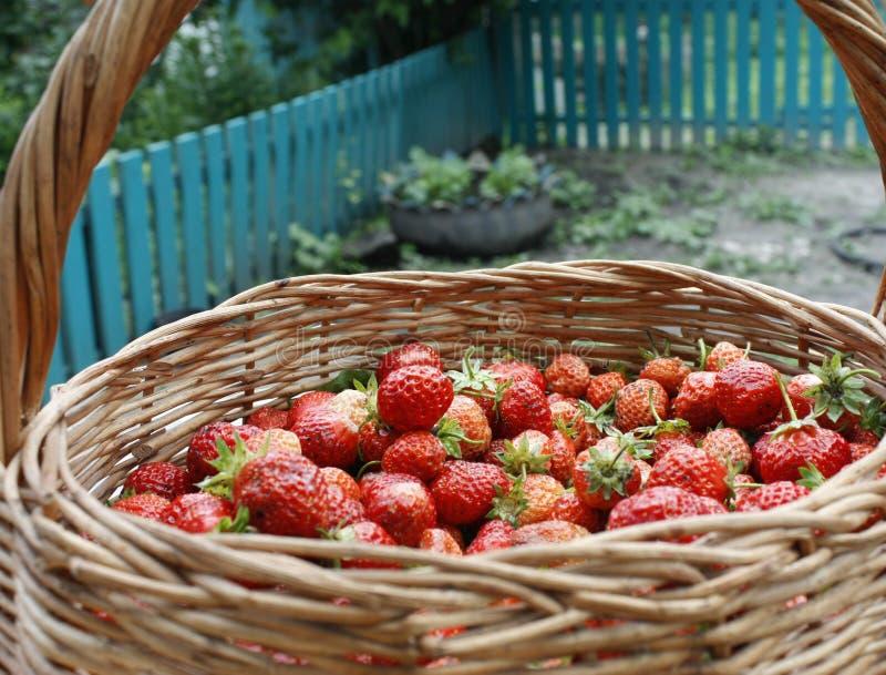 jordgubbar i en korg på en trätabell i en naturlig bakgrund, smakliga förstklassiga organiska frukter som ett begrepp för sommar arkivfoton