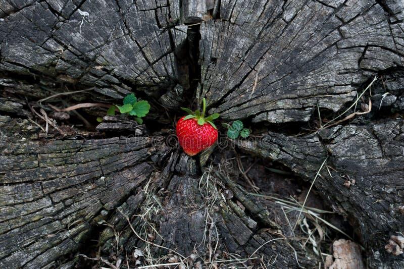 Jordgubbar på en trästubbe arkivfoton