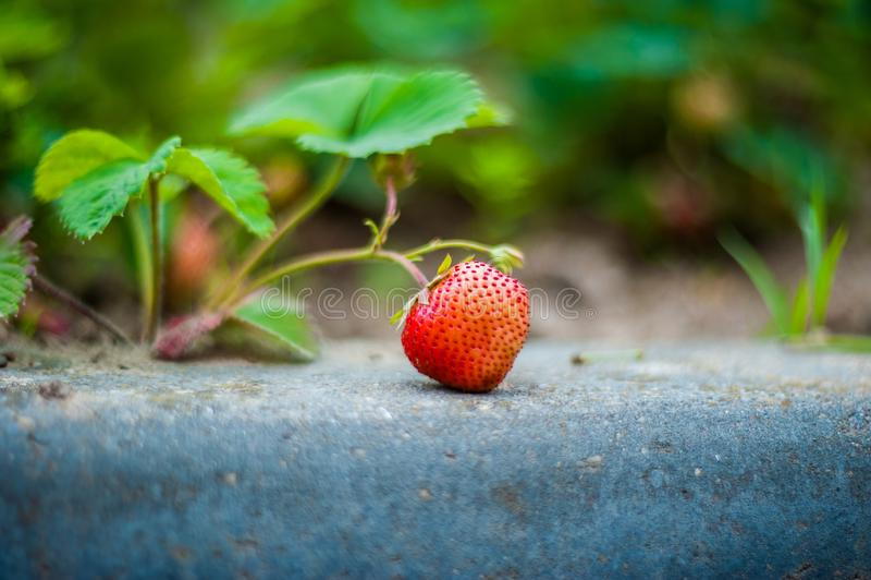 jordgubbe f?r buskeskyjordgubbar F?r ripesjordgubbe f?r Closeup tre viridis f?r Fragaria p? busken Jordgubbe med gr?na suddiga si arkivbild