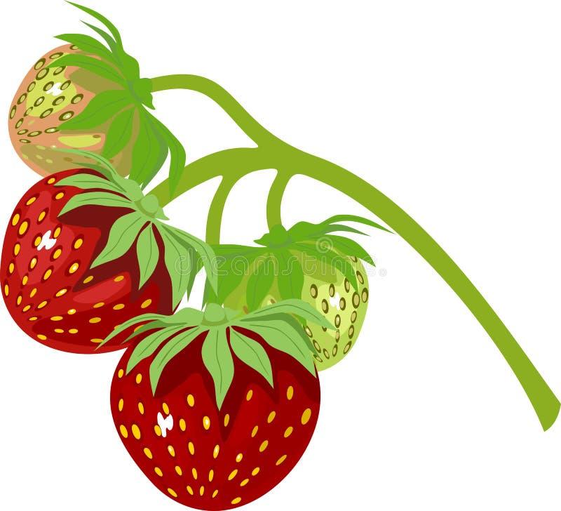 Jordgubbe på vinranka stock illustrationer