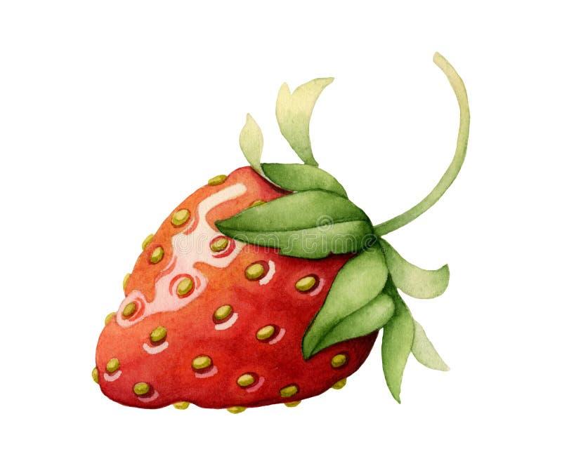 jordgubbe vattenfärg vektor illustrationer
