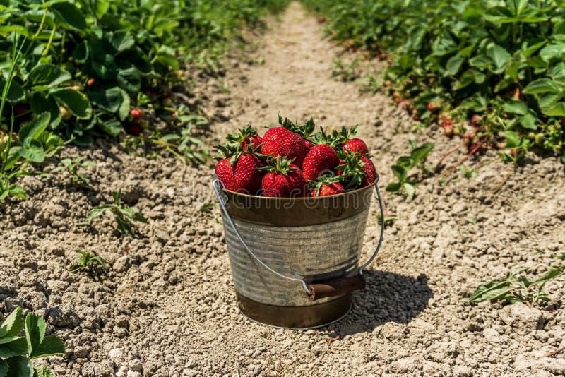 Jordgubbefält på den nya mogna jordgubben för lantgård i hink bredvid jordgubbesäng royaltyfri bild