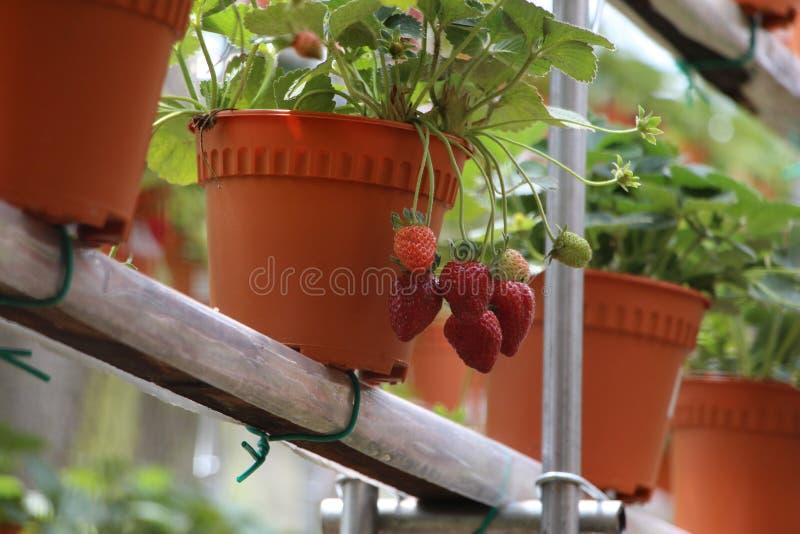Jordgubbefrukt 1 fotografering för bildbyråer