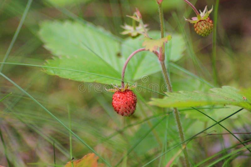 Jordgubbeharnesk Fragà ¡ ria - släkte av perenna örtartade växter av den rosa familjen arkivbilder