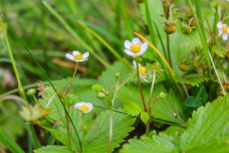 Jordgubbeharnesk Fragà ¡ ria - släkte av perenna örtartade växter av den rosa familjen arkivfoto