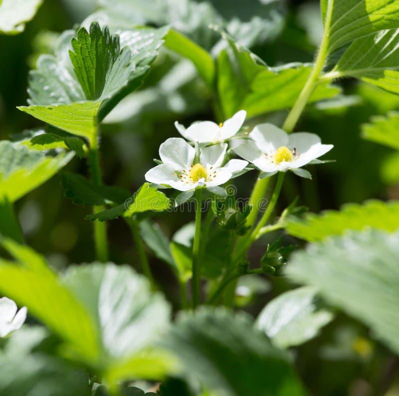 Download Jordgubben blommar i natur fotografering för bildbyråer. Bild av jordgubbe - 106833699