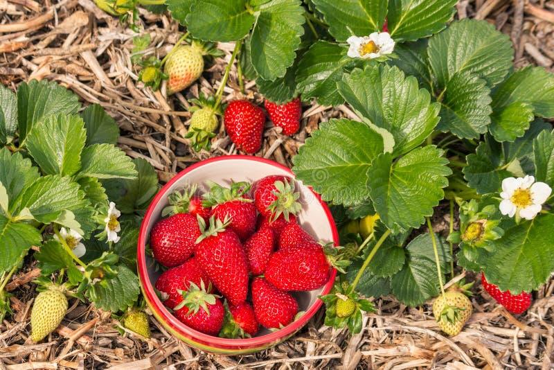 Jordgubbeväxter med bunken av nytt valda jordgubbar arkivbild