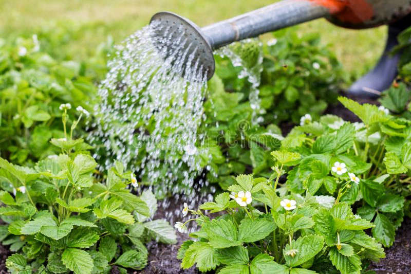 Jordgubbeväxter under vattendropparna i fältet i vårtid royaltyfria foton