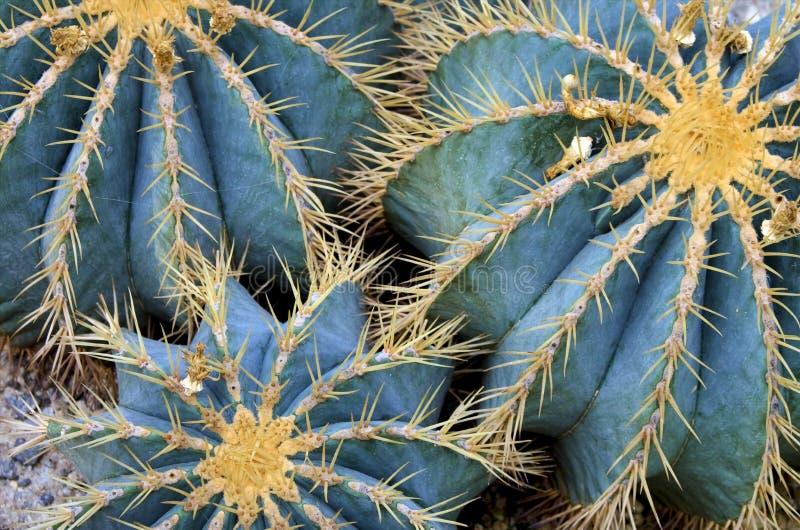 Jordklotkaktuns planterar closeupen fotografering för bildbyråer