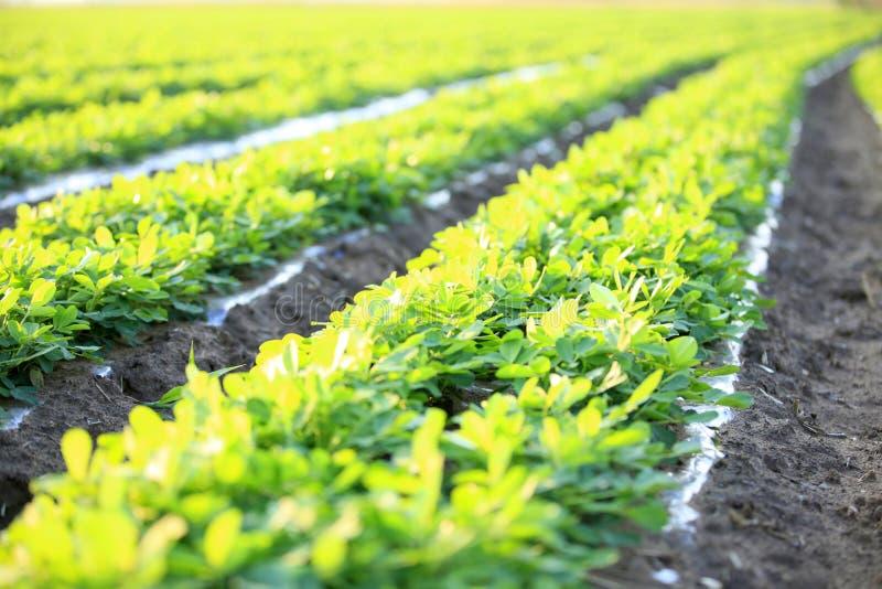 Jordnötter i fältet arkivfoton