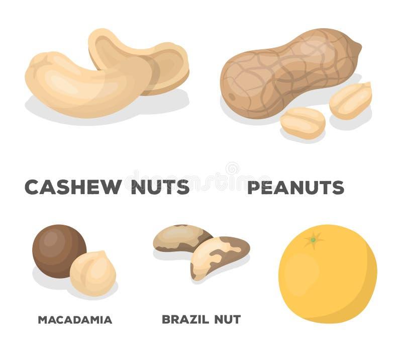 Jordnötter kasjuer, Brasilien muttrar, macadamia Olika sorter av fastställda samlingssymboler för muttrar i tecknad film utformar vektor illustrationer
