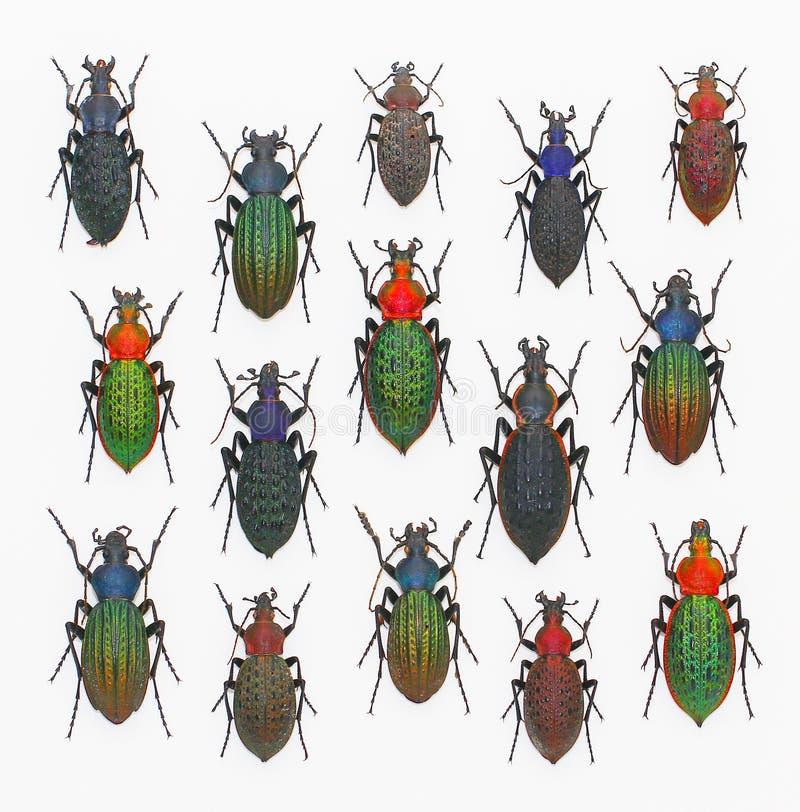 Jordningsskalbaggar i vit bakgrund royaltyfria bilder