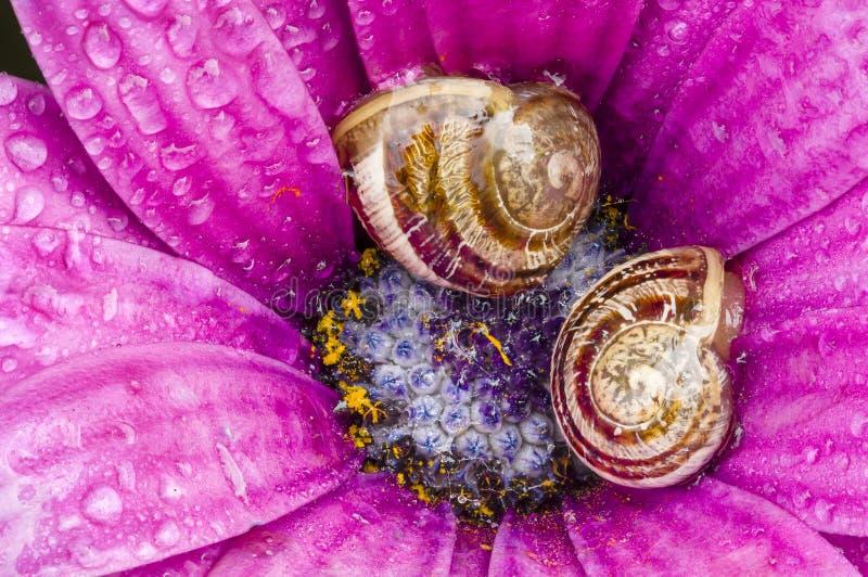 Jordsniglar som vilar inom en purpurfärgad tusensköna royaltyfri foto